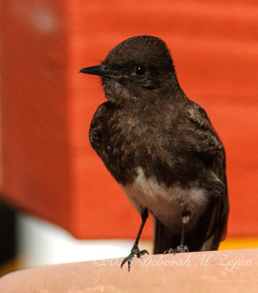 Black Phoebe  Adult
