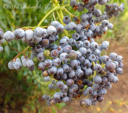 Mexican Elderberry