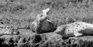 I spent the morning with several friends out in Elkhorn Slough photographing wildlife from a Pontoon Boat. It was good to hang out with my friends, and get out on the slough.  These young Harbor Seals were enjoying the beautiful sunny morning on the warm mud bank. Nikon D300s| AF-S Nikkor 300mm| Hand-Held| CS6 & Silver Efex Pro 2