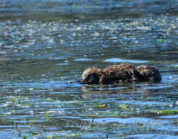 Mom Sea Otter and Nursing Pup