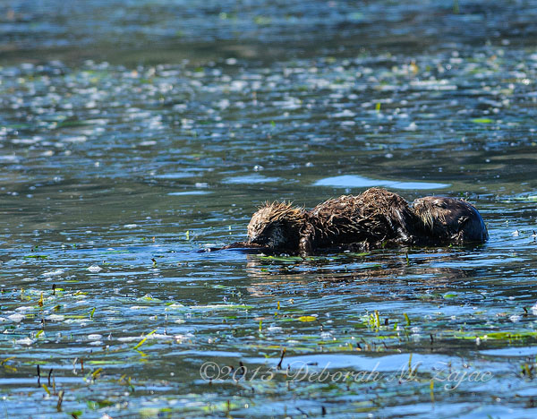 Mom Sea Otter and Nursing Pup