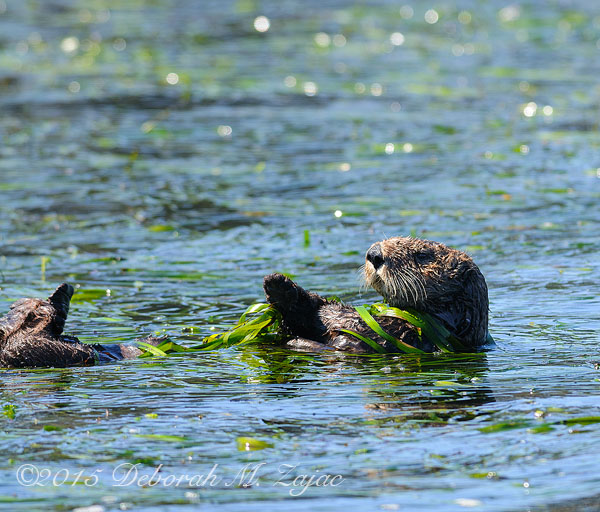 Sea Otter Wrapped in Sea Grass_0561