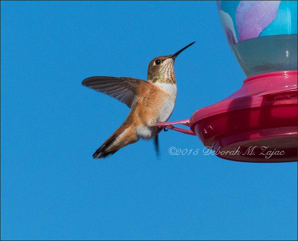 P52 34 of 52  Rufous Hummingbird-Female