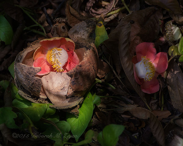 Canonball Tree -Couroupita guianensis