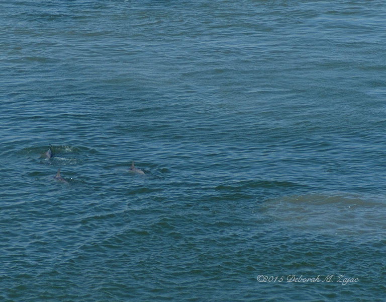 Dolphins Feeding in the Channel Galveston TX