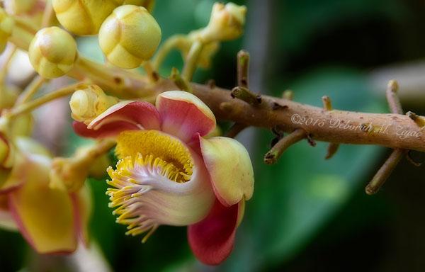 P52 36 of 52: Canonball Tree Flower