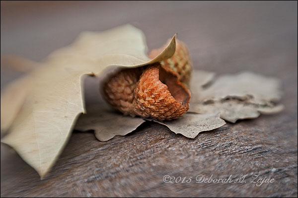 P52 37 of 52 Acorn Caps and Oak Leaves