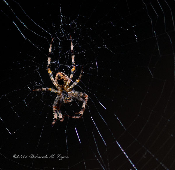 P52 39 of 52 Spider