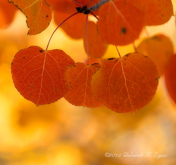 P52 41 of 52 Aspen Leaves in Fall