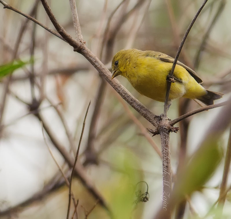 Yellow Warbler Male Winter