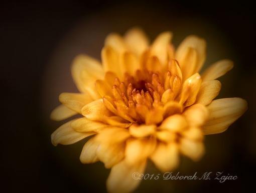 P52 46 of 52 Chrysanthemum _5130