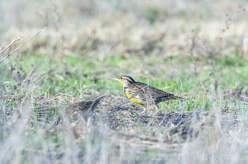 P52 48 of 52 Meadow Lark_4898