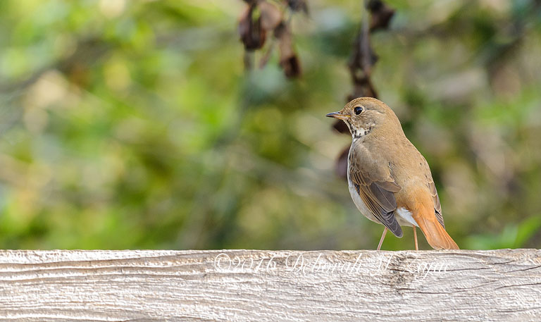 Hermit Thrush I think