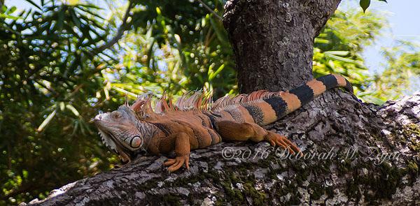 Iguana Male Honduras