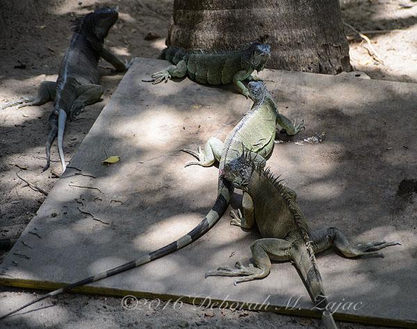 Iguanas Females