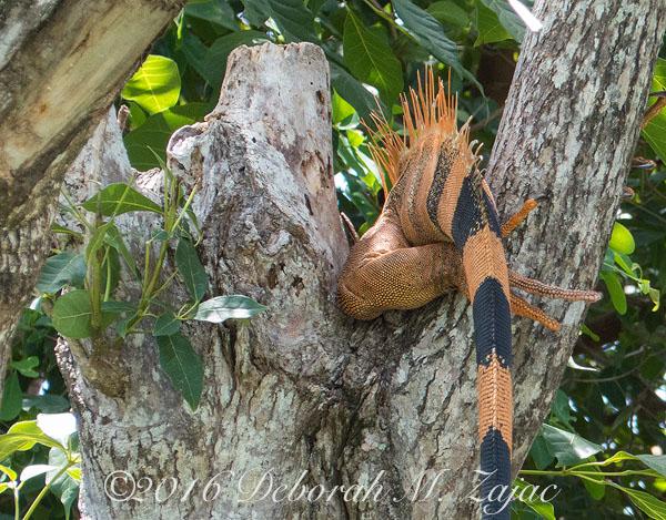 Tail of Iguana Male
