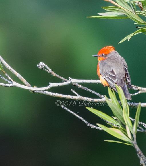 Vermilion Flycatcher-Male