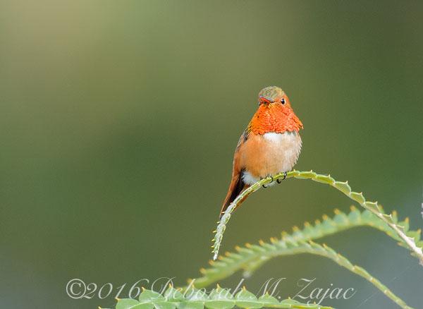 Allen's Hummingbird Male