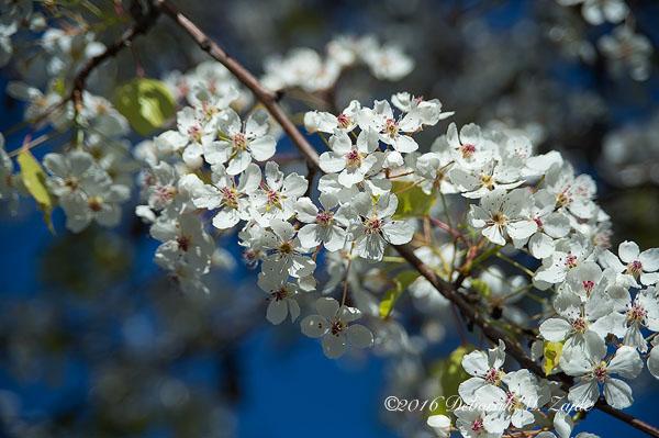 Flowering Tree in full bloom