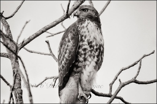 Monochrome Madness 2 47 of 52 Red tailed Hawk
