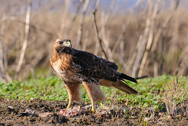Red tail Hawk with meal