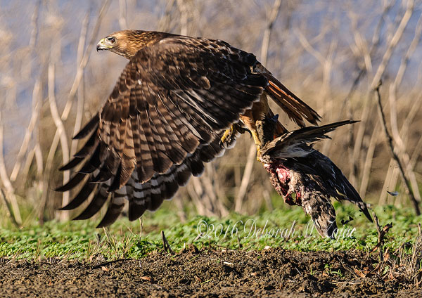 Red-tailed Hawk with Prey in Flight