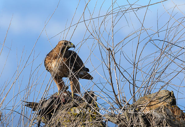Red tail with prey on tree stump