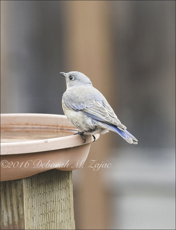 Bluebird Female
