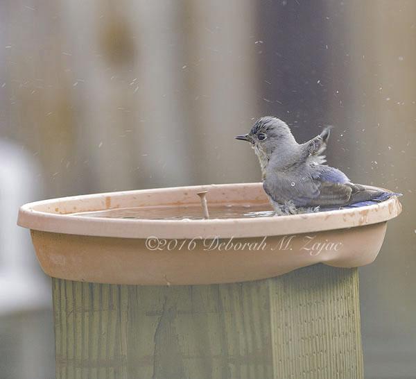 Western Bluebird Female bathing