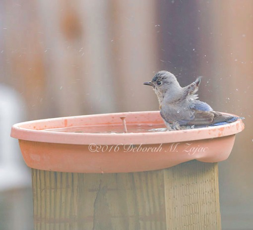 Western Bluebird Female bathing