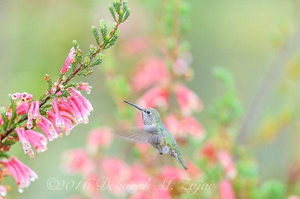 Anna's Hummingbird Female Approaching flowers