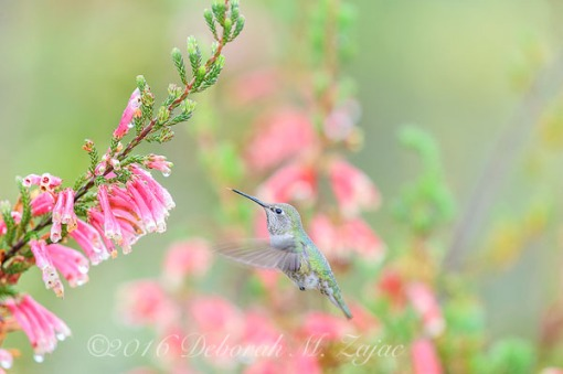 Anna's Hummingbird Female Approaching flowers
