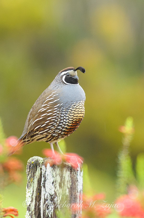 California Quail- The Look