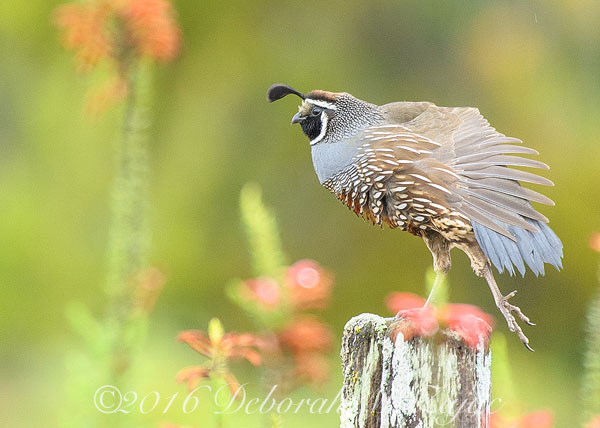 California Quail-Morning Stretch