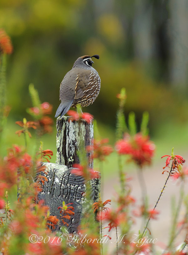 California Quail on Post