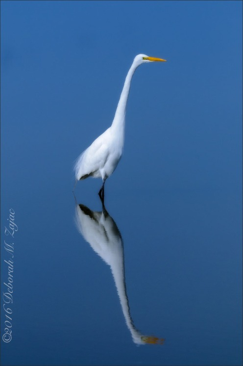 Great Egret Reflected