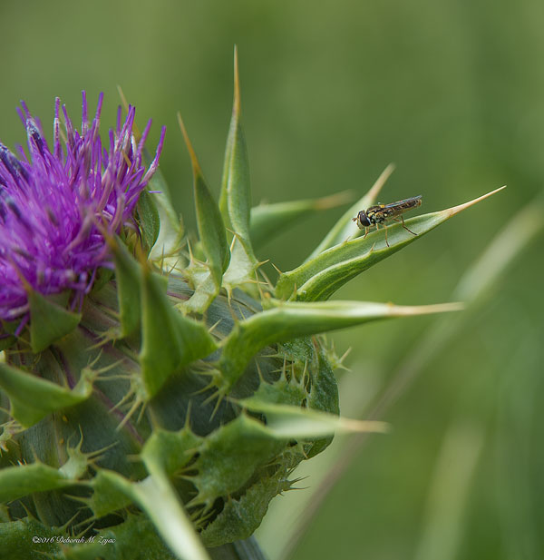 Bee Fly on Milk Thistle