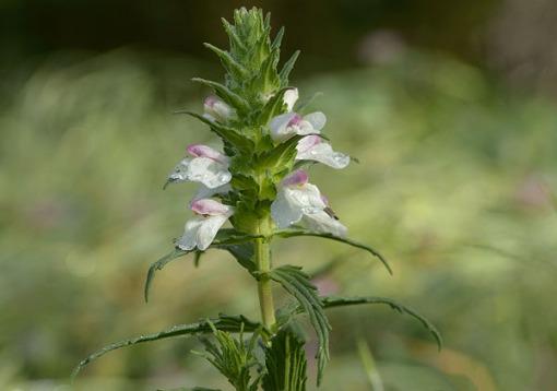 Bellardia Wildflower