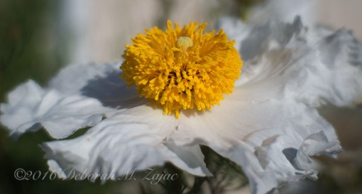 Flower Matilija Poppy_Macro Photography