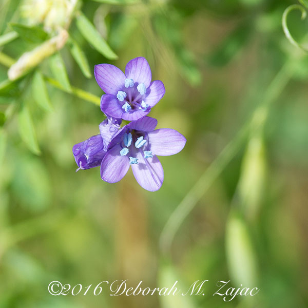 Unidentified Spring Flower Western Region