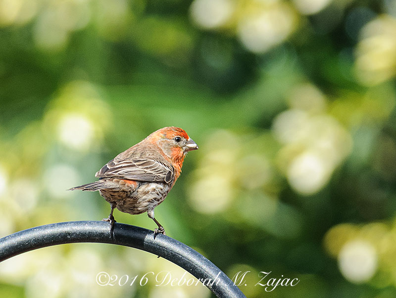 House Finch Male-Photography