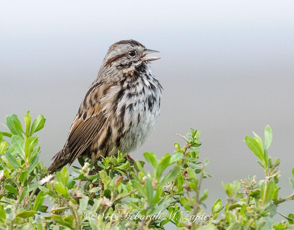 Song Sparrow- Bird Photography