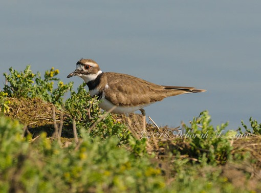 Killdeer_ Photography
