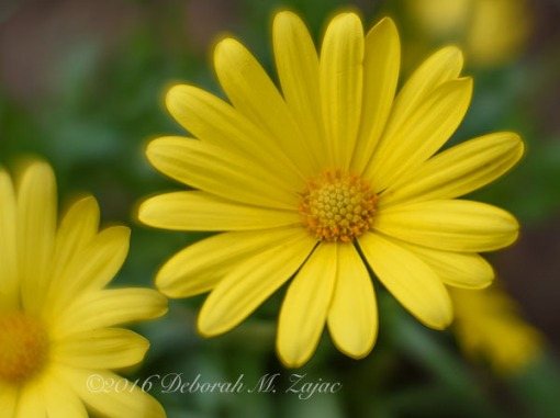 Flower- Yellow_Photography