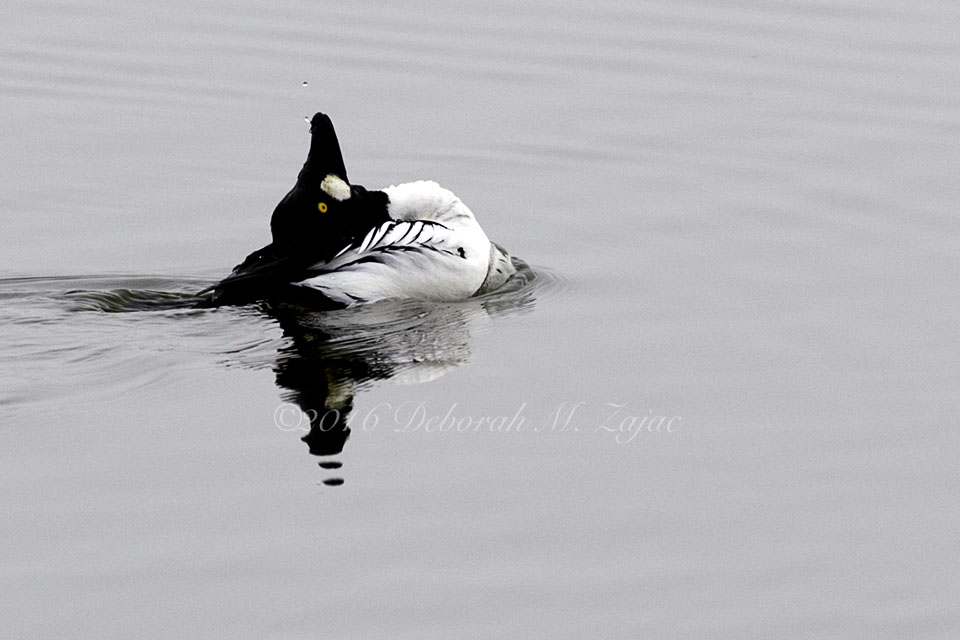 Common Goldeneye male- Mating Ritual Dance Photography