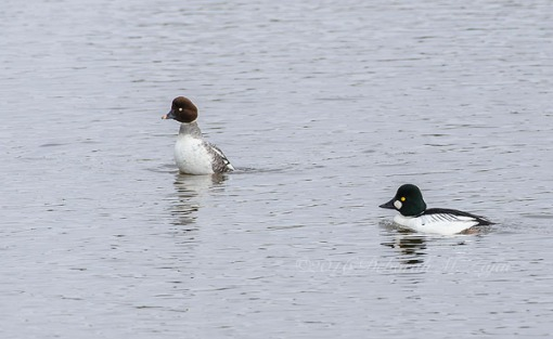 Common Goldeneye Male-Mating Ritual Dance-Photography