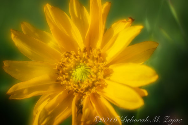 Lensbaby w/soft focus optic- Flower