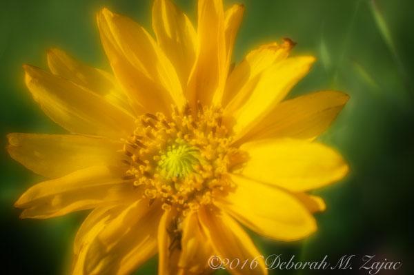 Lensbaby w/soft focus optic- Flower