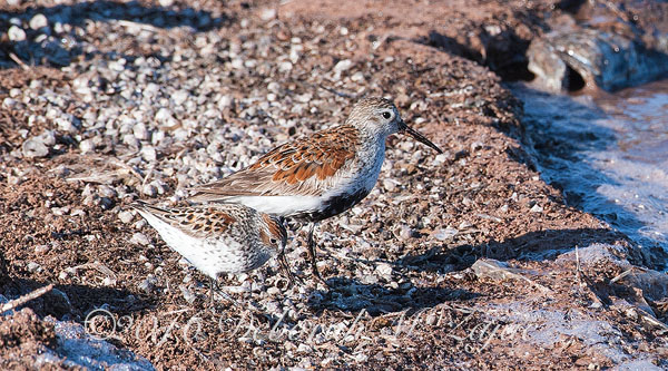 Western Sandpipers- Photography