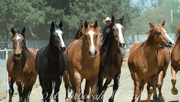 Bronco Horses